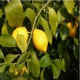 安岳新鲜现摘黄柠檬500克 淘宝价格