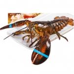 獐子岛 鲜活波士顿龙虾 450g/只