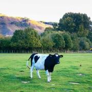 为什么奶粉是新西兰的好?新西兰奶粉受欢迎的原因