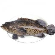 皇港世家 海南冰鲜青石斑鱼 600g39.9元,可低至26.33元
