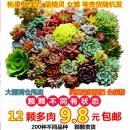 塔可可 多肉植物组合 随机12棵¥10