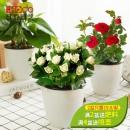 Hodo 红豆 栀子花盆栽 带花苞  8.9元包邮¥9