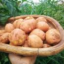 云南 红皮小土豆 马铃薯 10斤15.6元包邮