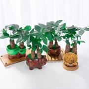 鲜叶多 发财树盆栽 简易盆