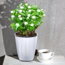 绿叶飞 茉莉花盆栽 (带简易盆) 9.9元(需用券)¥10