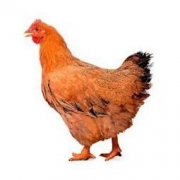 温氏 供港黄油鸡 1kg 高品质供港鸡(下单2件3只鸡共85.8元) *2件85.8元(合42.9元/件)
