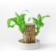 迷糊妞 迷你室内 巴西木 盆栽 高约10cm (含盆)5.9元包邮(需用券)