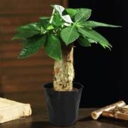 菜友 发财树 盆栽 含盆2.8元包邮(需用券)
