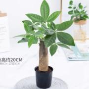 鲜菲淳 发财树盆栽 高11cm左右5.6元包邮
