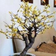 千芳翠 92087 黄腊梅绿植盆栽 3年苗