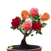 千芳翠  嫁接玫瑰花苗  四季开花  多色组合  3年苗