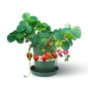 四季草莓苗 草莓苗盆栽  红珍珠草莓 5棵苗+5个盆套装
