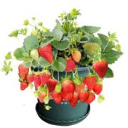 四季草莓苗 草莓苗盆栽   5棵苗+5个盆套装