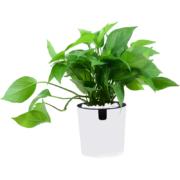锦丹 绿植盆栽 鸭脚木/绿萝 含圆柱盆5.8元包邮(需用券)