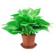 鲜叶多 绿萝盆栽 含盆