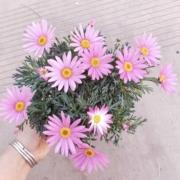 馥郁芳华 玛格丽特 苗盆栽 带花苞5.8元包邮(双重优惠)