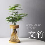 惜林园绿植 文竹 透明圆柱瓶9.9元包邮