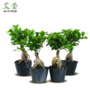 艾莹 长寿榕盆栽 15-20cm