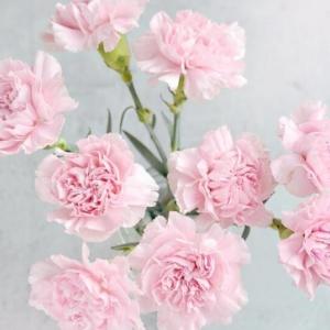 春天到家 康乃馨鲜花 8支+2支防损