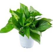 鲜菲淳 绿萝盆栽 15棵+白色螺纹盆4.29元包邮(需用券)