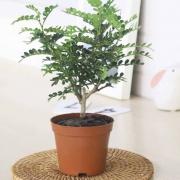 梅芝 清香 胡椒木 盆栽4.9元包邮(需用券)
