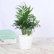 涛和 散尾葵盆栽 凤尾竹 (不含盆)