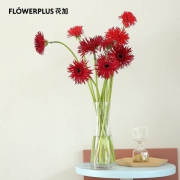 plus会员:FlowerPlus 花加 优选酒红色非洲菊 10枝