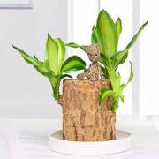 PLUS会员:半径风景 巴西木水养水培植物 6-7cm 含盆