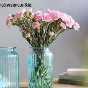 PLUS会员:FlowerPlus 花加 香石竹 20枝