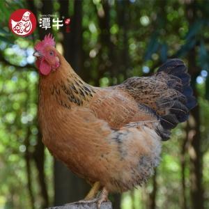 PLUS会员:潭牛 公鸡1只+母鸡1只